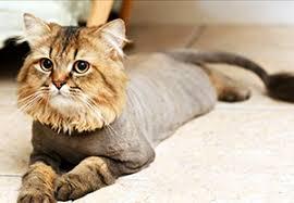 стрижка кошки в Калининграде
